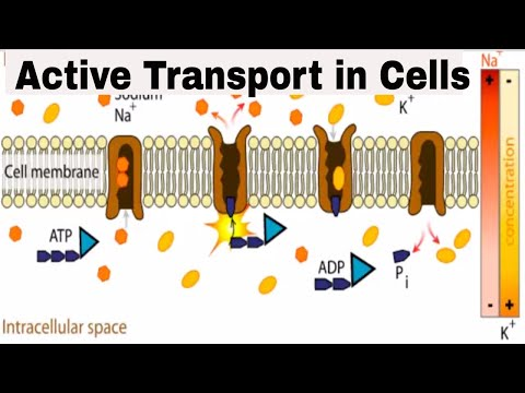 Cells and Active Transport