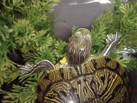 Feeding Time For Mr Turte The Red Eared Slider and Midnight Basking Light Dilema!