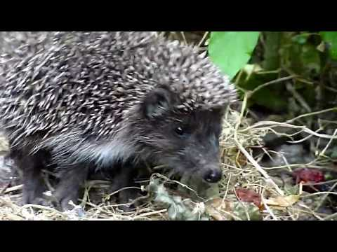 Our Dog Found A Cute Little Baby Hedgehog. Howl Of A Dog Rescue Video
