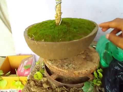 How to Apply Green Moss  | Bonsai | Green Moss Care