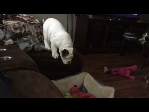English Bulldog discovers how fun it is to jump off couch