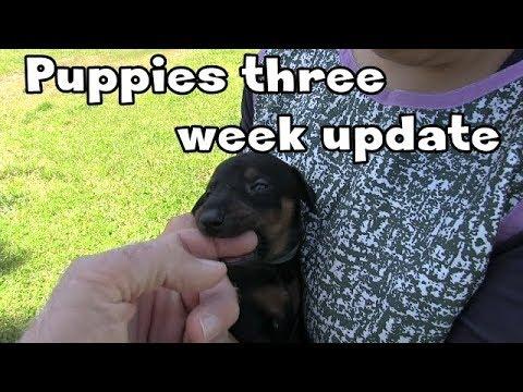 Doberman puppies three week update