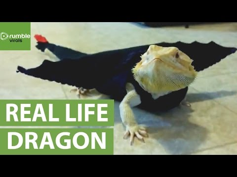 Bearded Dragon models movie-inspired dragon outfit