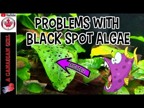 BLACK SPOT ALGAE PROBLEMS HOW TO CLEAN IT EPS 2