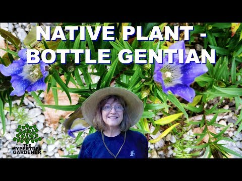 Native Plant of North America - Bottle Gentian Blooming