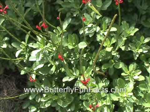 Dwarf Red Porterweed and Butterflies