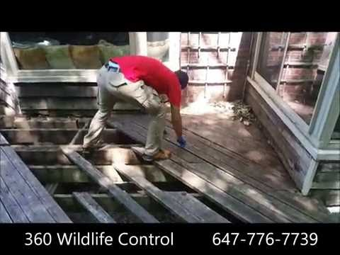 Raccoon getting in the basement from under the deck