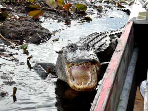 Feeding a Wild Alligator in the Florida Everglades
