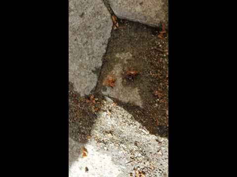 How to find the queen of the little black sugar ants nest