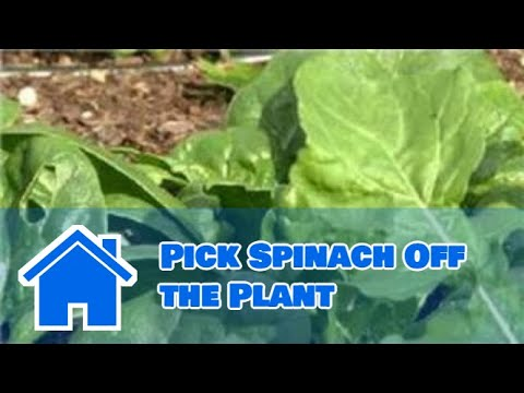 Growing Greens : How to Pick Spinach Off the Plant