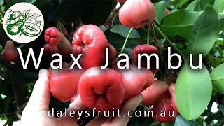 Wax Jambu  is a beautiful ornamental tree with delicious, crisp, refreshing fruit.