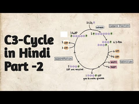 C3 Cycle - Calvin Cycle - Part 2 in hindi