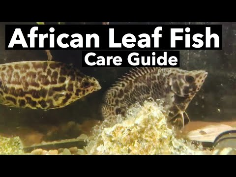 "African Leaf Fish Care - Spotted Bush Fish ""Leapord"""