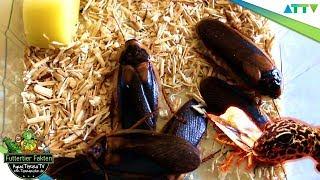 Schaben - Alle Infos Zu Dem Futtertier | Aquaterratv