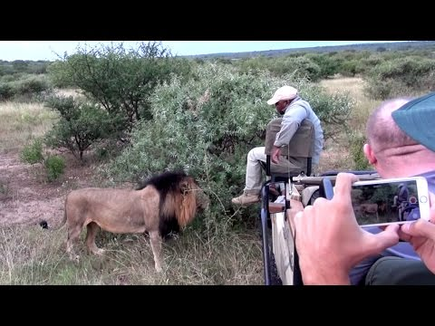 Lion Smells Guides Foot While On Safari