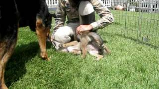 Me playing with coyote pups