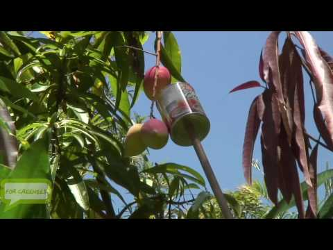 How To Make a Mango (Fruit) Picker With Materials Around The House - Easy HD
