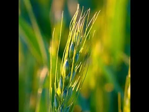 New wheat strain could avoid gluten problems