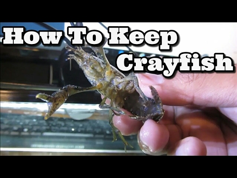Keeping Freshwater Crayfish