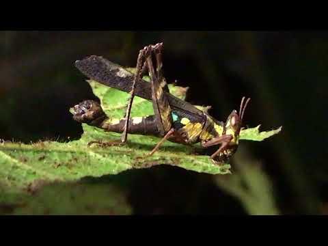 male Erianthus versicolor eating