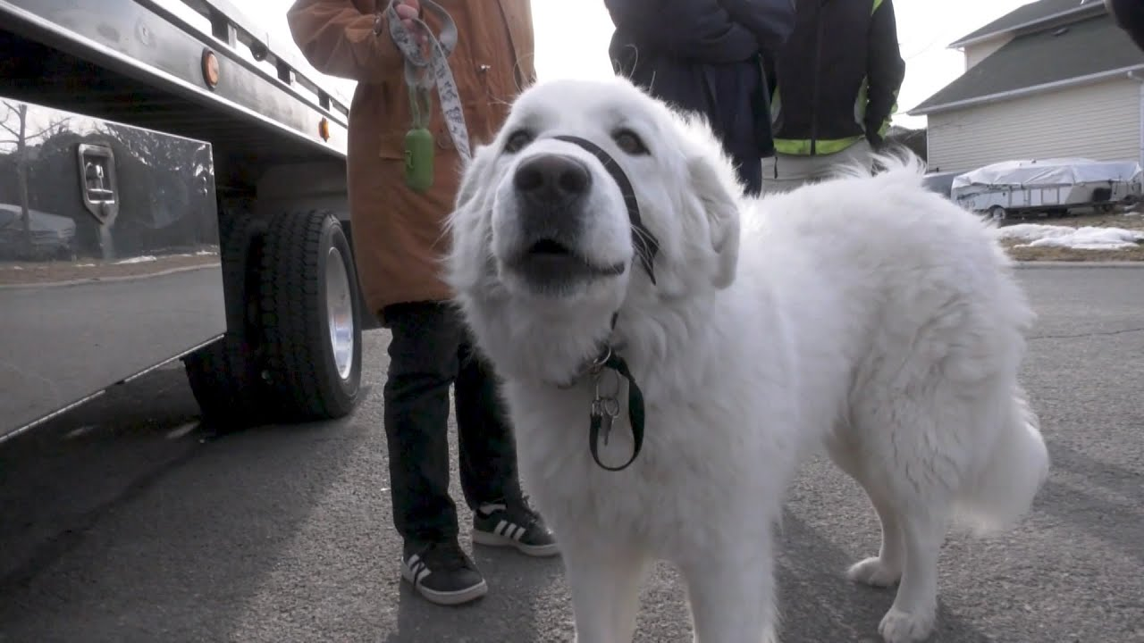 This family dog saved her owner by stopping a car for help