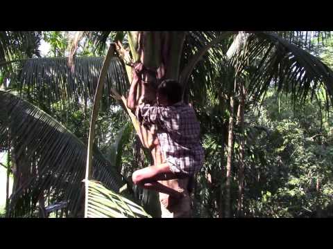 Cutting down Tree branches and Coconuts in Bangladesh