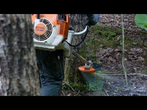 Felling Large Tree With Brush Cutter