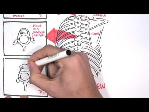 Anatomy Thorax Overview - Ribs, Sternal angle, Pleura and Pneumothorax
