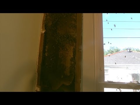 Removing a large bee hive from the inside of the house.