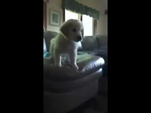 Puppy jumping off a couch