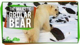 The Majestic Grolar Bear