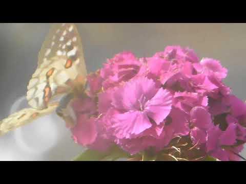Flowers & Butterflies July 4th 2018 Growing Marijuana for Fun & Relaxation