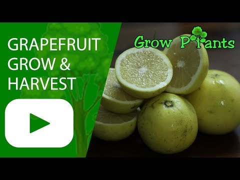 Grapefruit tree - grow, care & harvest fruits