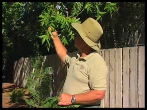 How To Identify And Control Problems With Pecan Trees