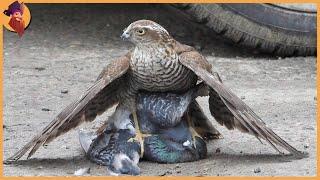 14 Best Hawk Attacks Caught On Camera!!