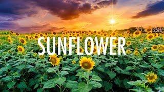 Download Post Malone, Swae Lee – Sunflower (Lyrics) 🎵 Video