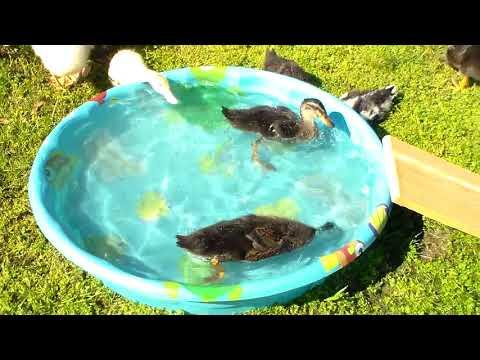 We have Chicks!! and Bonus Duck Footage