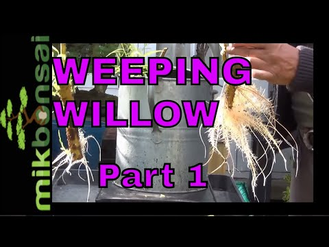 How to grow bonsai trees from branch cuttings - How to Bonsai Weeping Willow Trees part 1