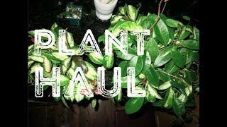 Hoya Plant Haul | Hoya Obsession