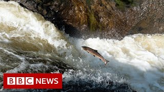 Saving a million salmon and a tribe in a historic drought - BBC News
