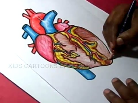 How to Draw HUMAN HEART Anatomy Color Drawing for kids