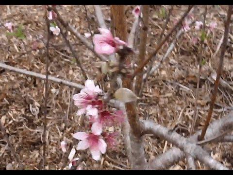 Winter Peaches