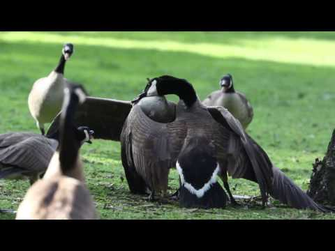 Canada Geese Fight