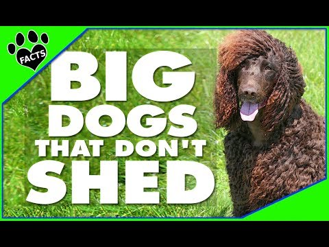 TopTenz: BIG Dogs That Don't SHED Too Much - Animal Facts Dogs 101