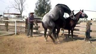 horses having sex