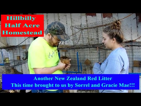 New Zealand Rabbits - Our Latest New Zealand Red Rabbit Litter Sired by Sorrel and Grace