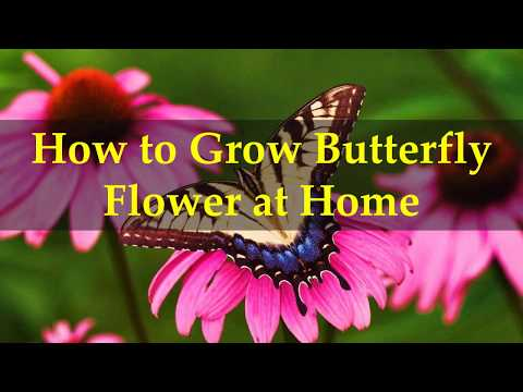 How to Grow Butterfly Flower at Home