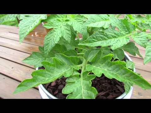 Foliar Spraying: Stopping Tomato Fungal Diseases with Baking Soda - The Rusted Garden 2013