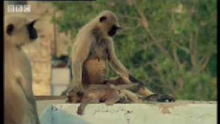 New leader kills monkey babies - Monkey Warriors - BBC animals