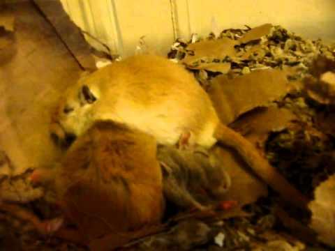 Three sleepy gerbils